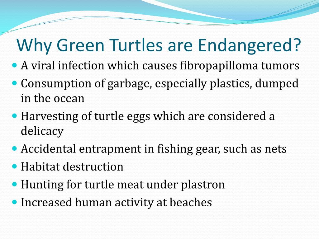 Why Green Turtles are Endangered?