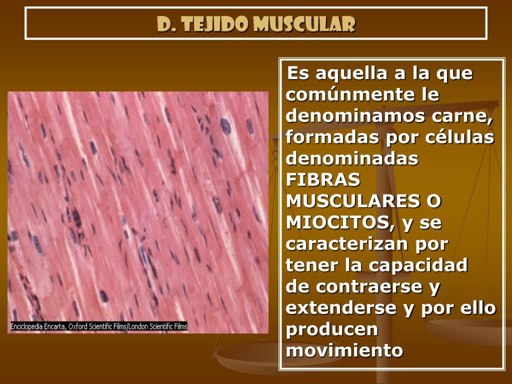 d. Tejido muscular