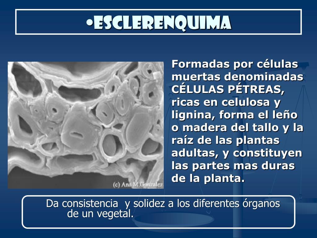 esclerenquima