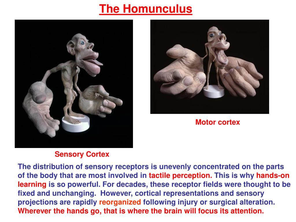 The Homunculus