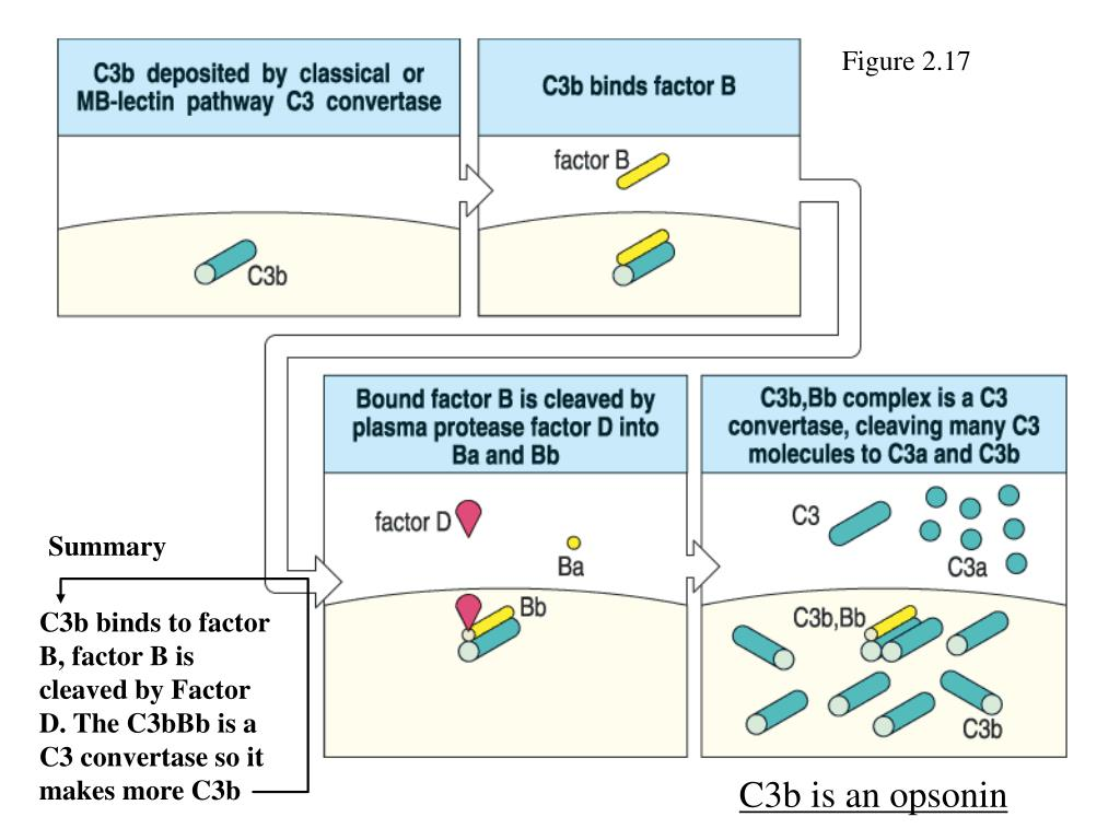 C3b binds to factor B, factor B is cleaved by Factor D. The C3bBb is a C3 convertase so it makes more C3b