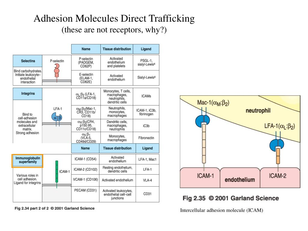 Adhesion Molecules Direct Trafficking