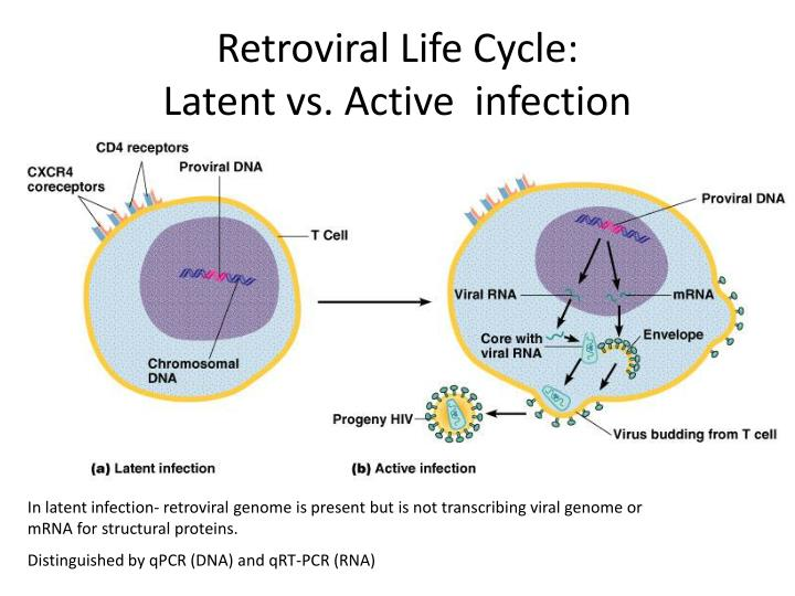 Retroviral life cycle latent vs active infection l.jpg
