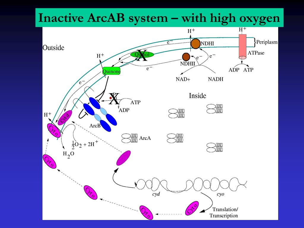 Inactive ArcAB system – with high oxygen