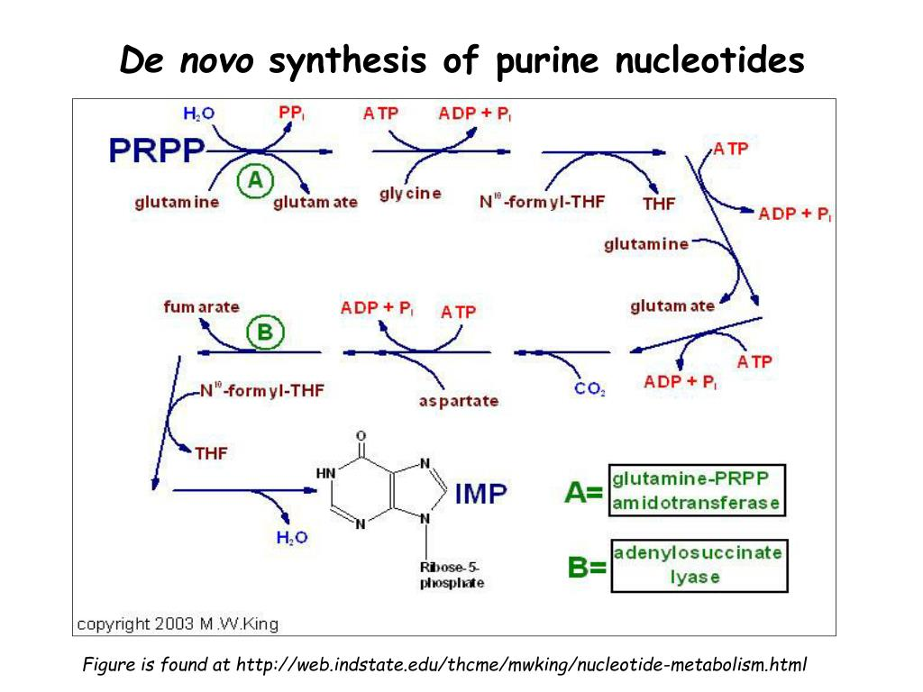 uric acid degradation thesis Abstract the mechanism of purine degradation was studied in the facultative phototrophic bacterium rhodopseudomonas capsulatausing tungstate as an inhibitor of synthesis of an active xanthine dehydrogenase it could be shown in growth experiments that purine compounds are transformed to uric acid as central purine intermediate prior to ring cleavage.