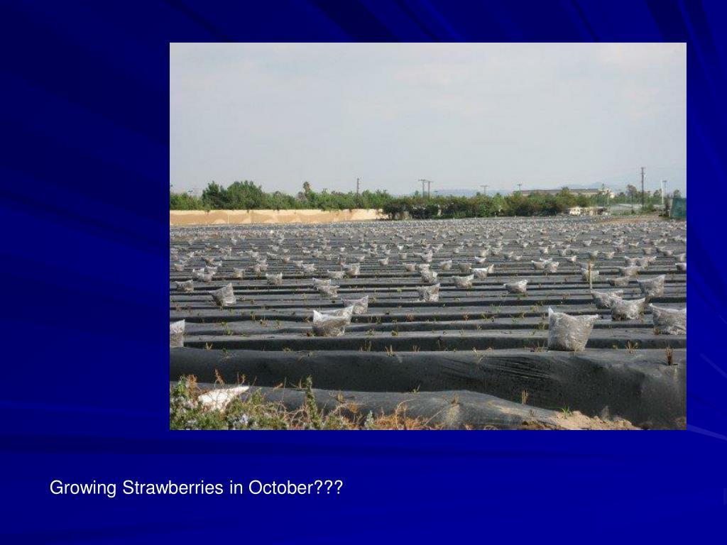 Growing Strawberries in October???