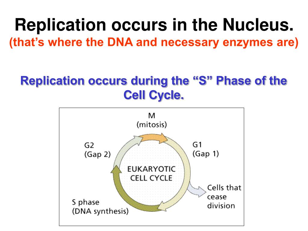 Replication occurs in the Nucleus.