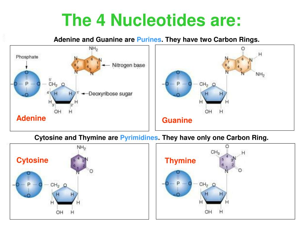 The 4 Nucleotides are: