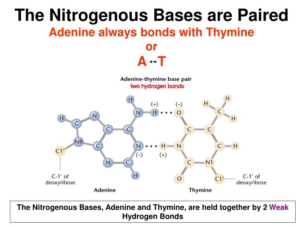 The Nitrogenous Bases are Paired