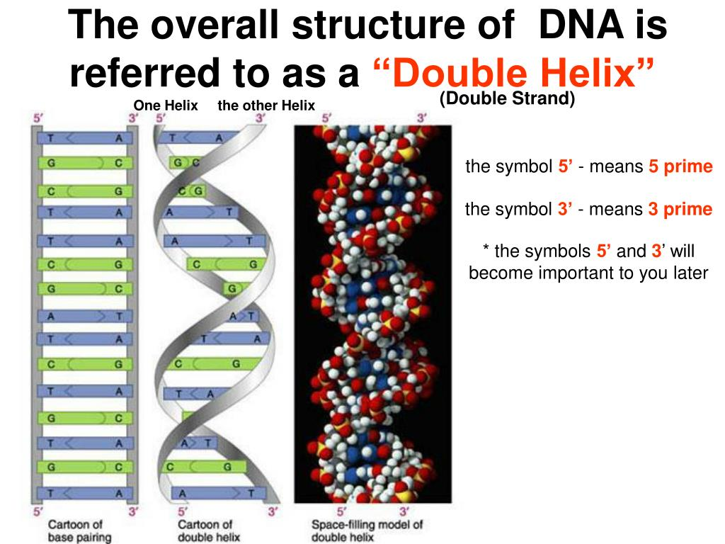 The overall structure of  DNA is referred to as a