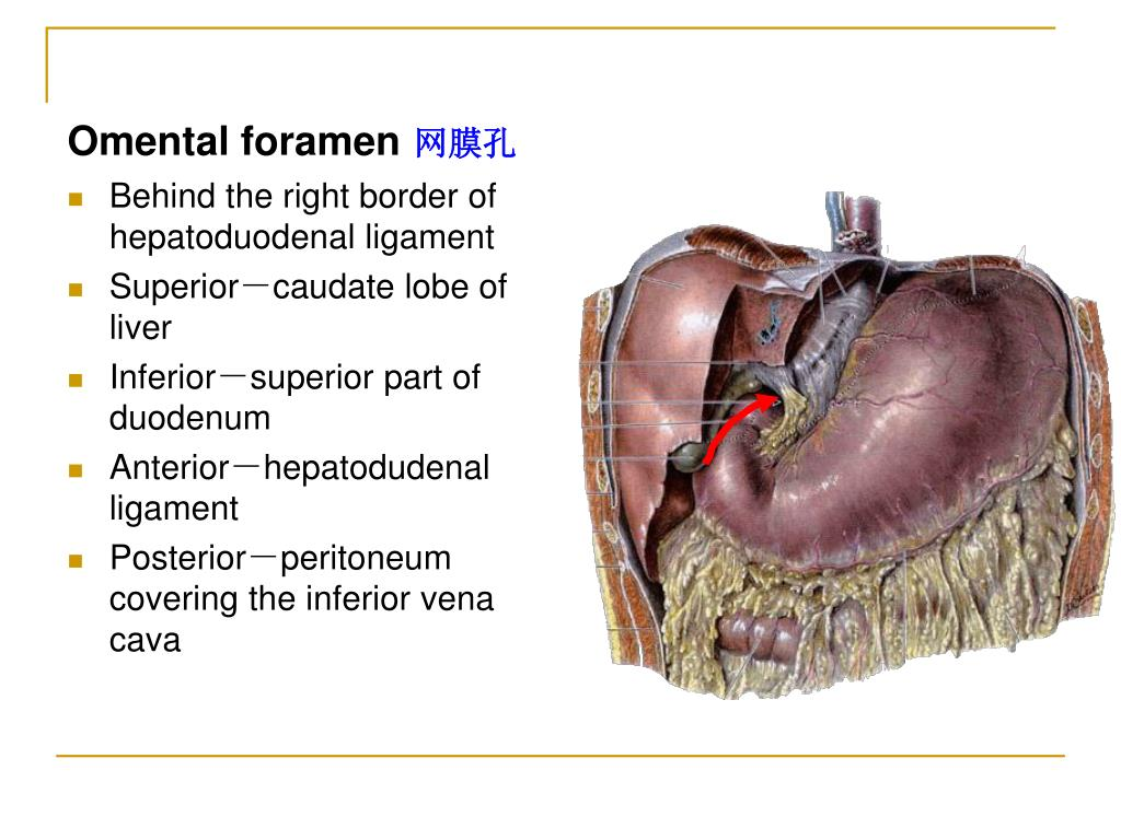 epiploic foramen There are no previous studies correlating the anatomy of the equine epiploic foramen and its defining structures with laparoscopic images thirty-two horses subjected to euthanasia for.