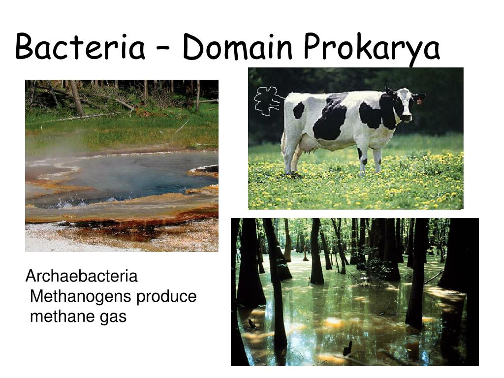 Bacteria – Domain Prokarya