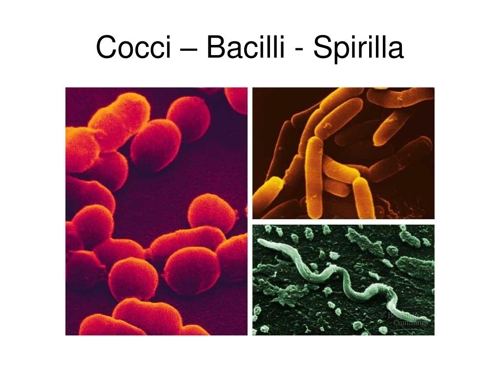 Cocci – Bacilli - Spirilla