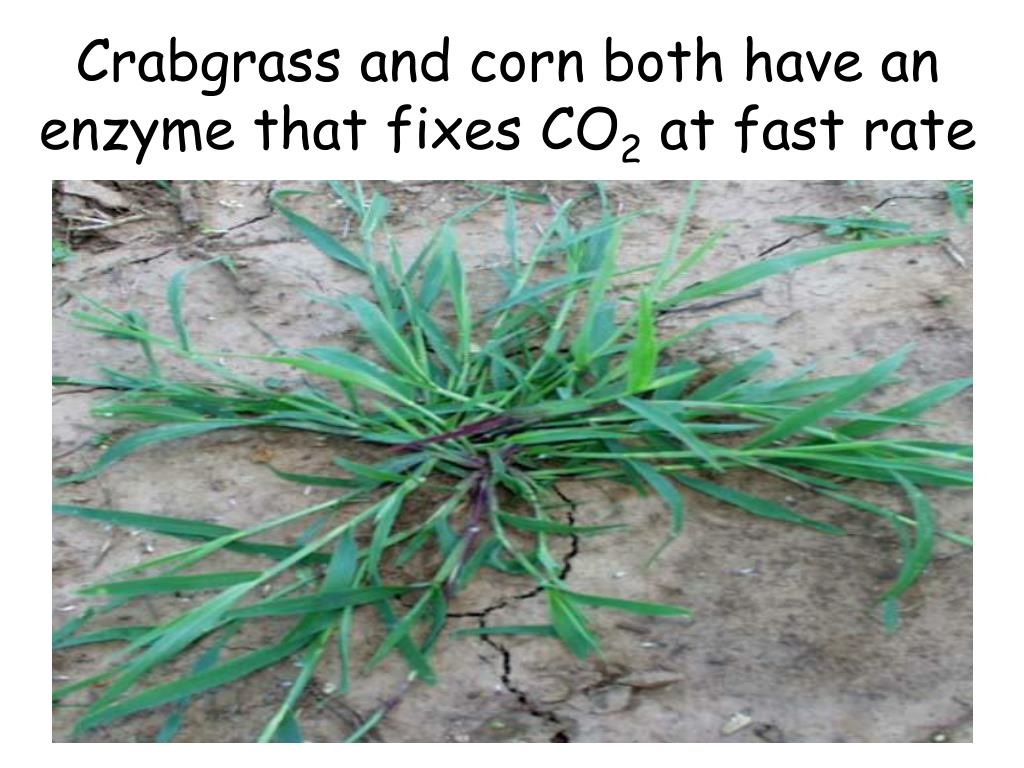 Crabgrass and corn both have an enzyme that fixes CO