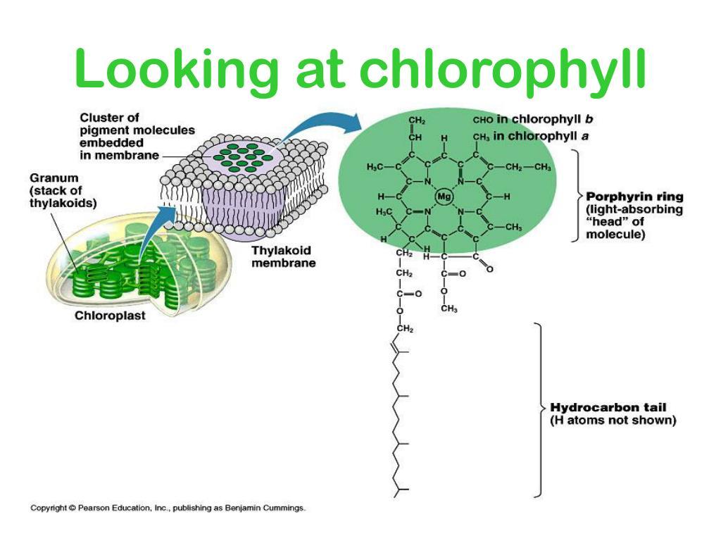 Looking at chlorophyll
