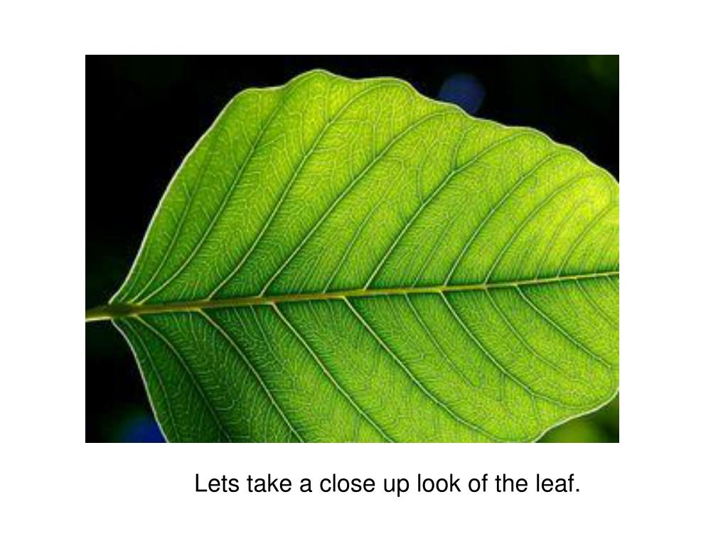 Lets take a close up look of the leaf.