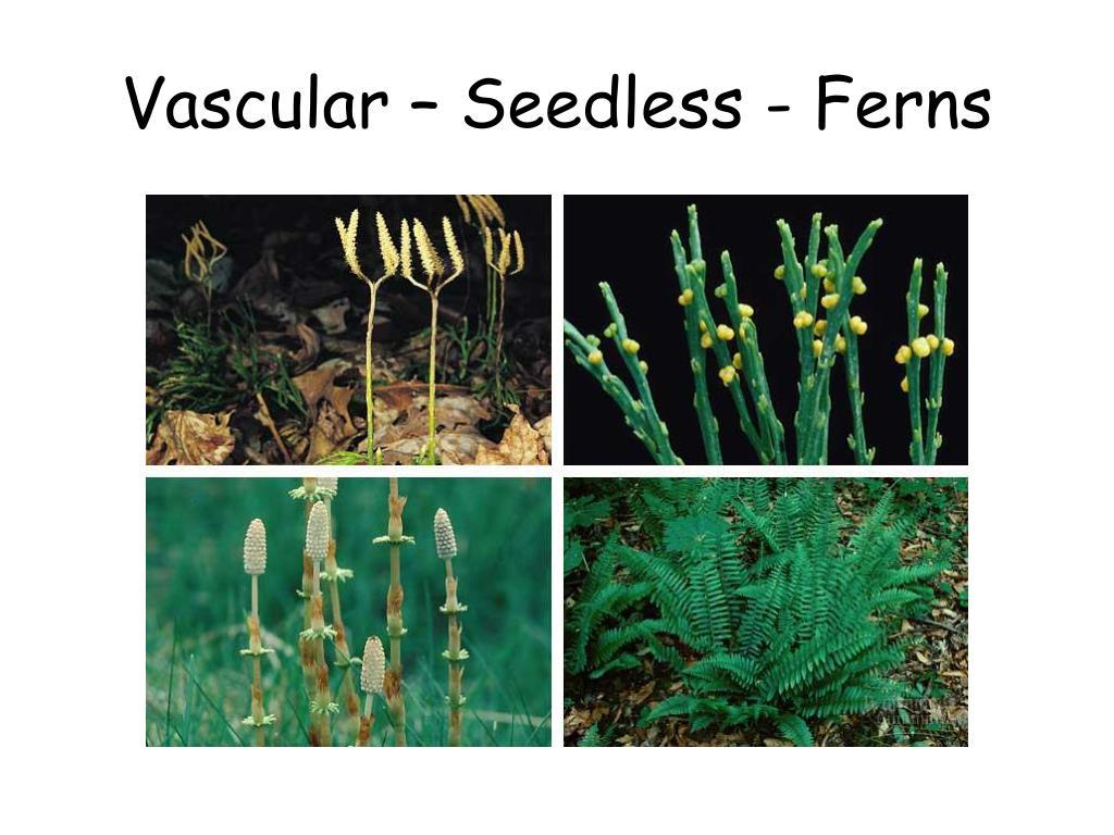 Vascular – Seedless - Ferns
