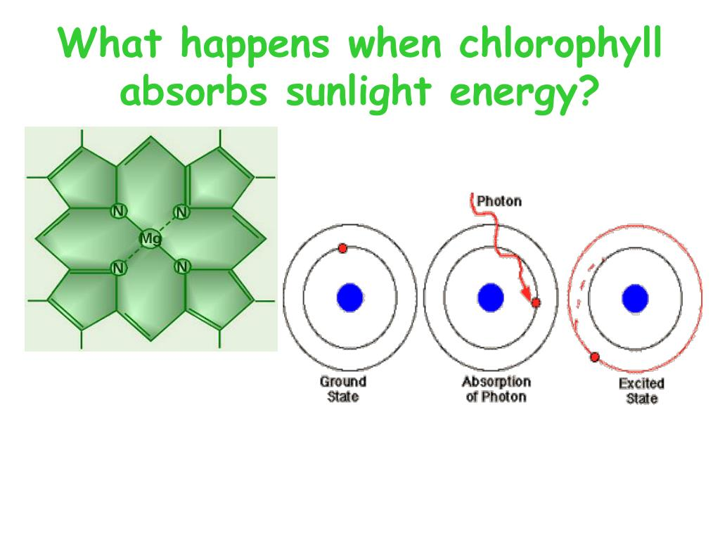 What happens when chlorophyll absorbs sunlight energy?