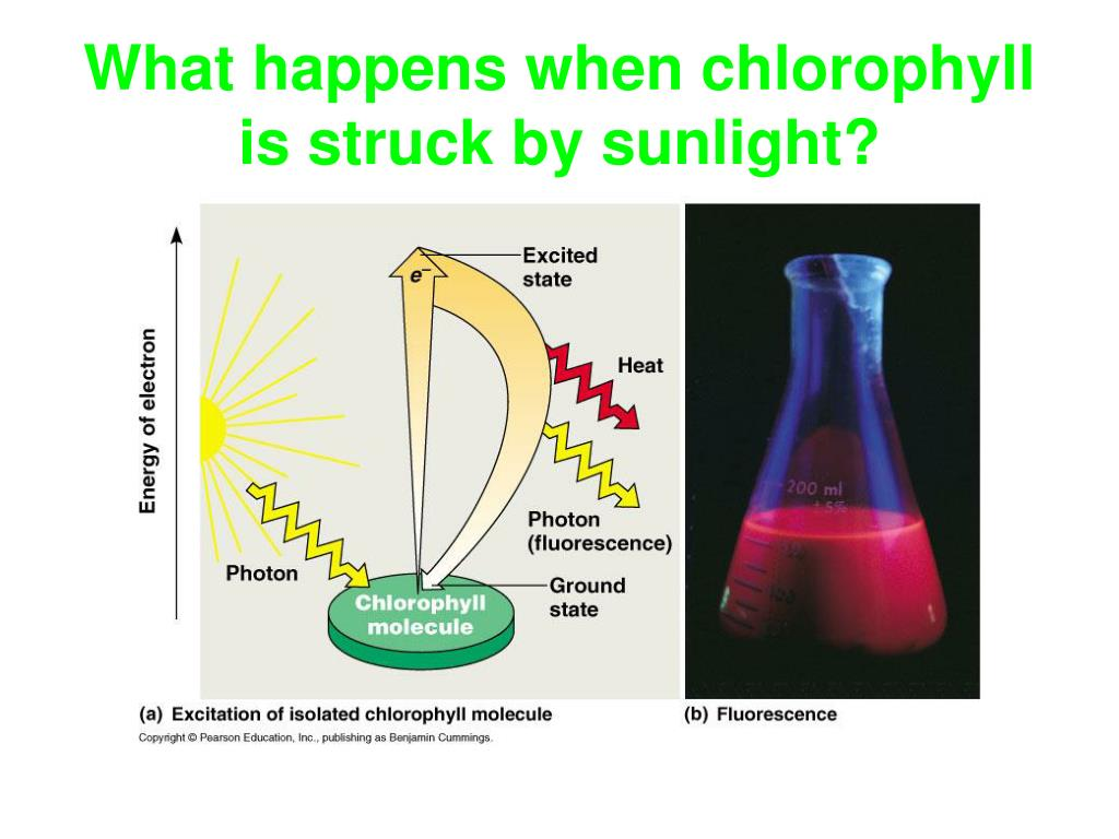 What happens when chlorophyll is struck by sunlight?