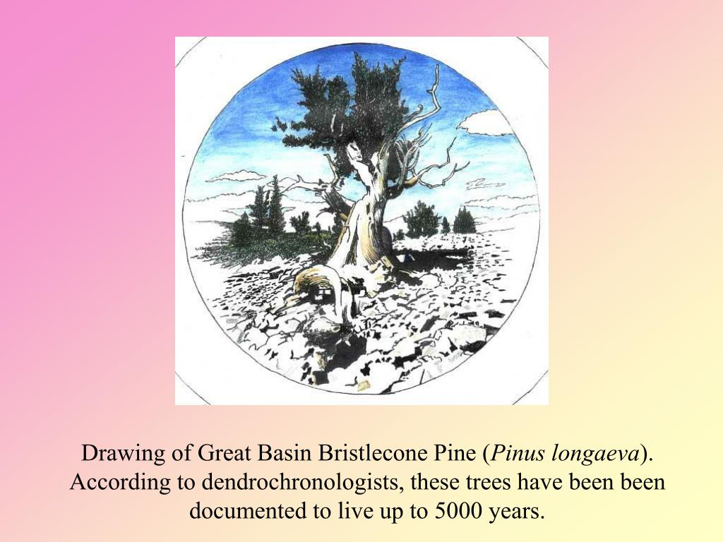 Drawing of Great Basin Bristlecone Pine (