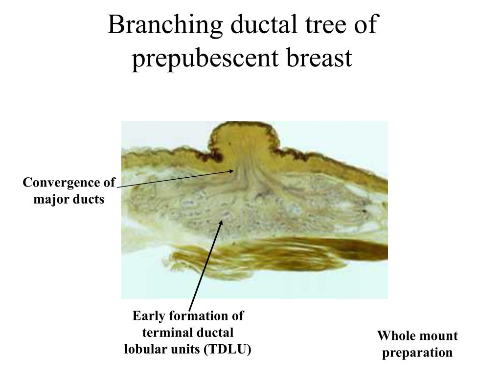 Branching ductal tree of prepubescent breast