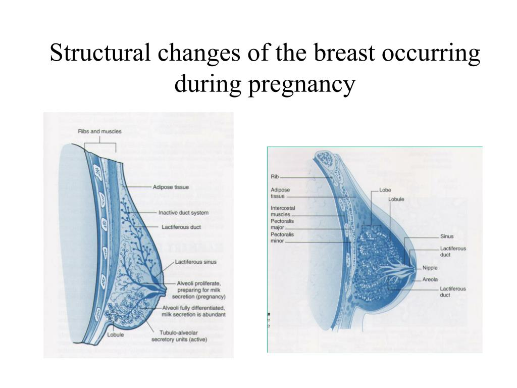 Structural changes of the breast occurring during pregnancy