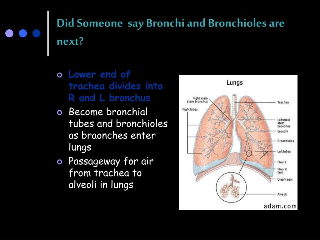 Did Someone  say Bronchi and Bronchioles are next?