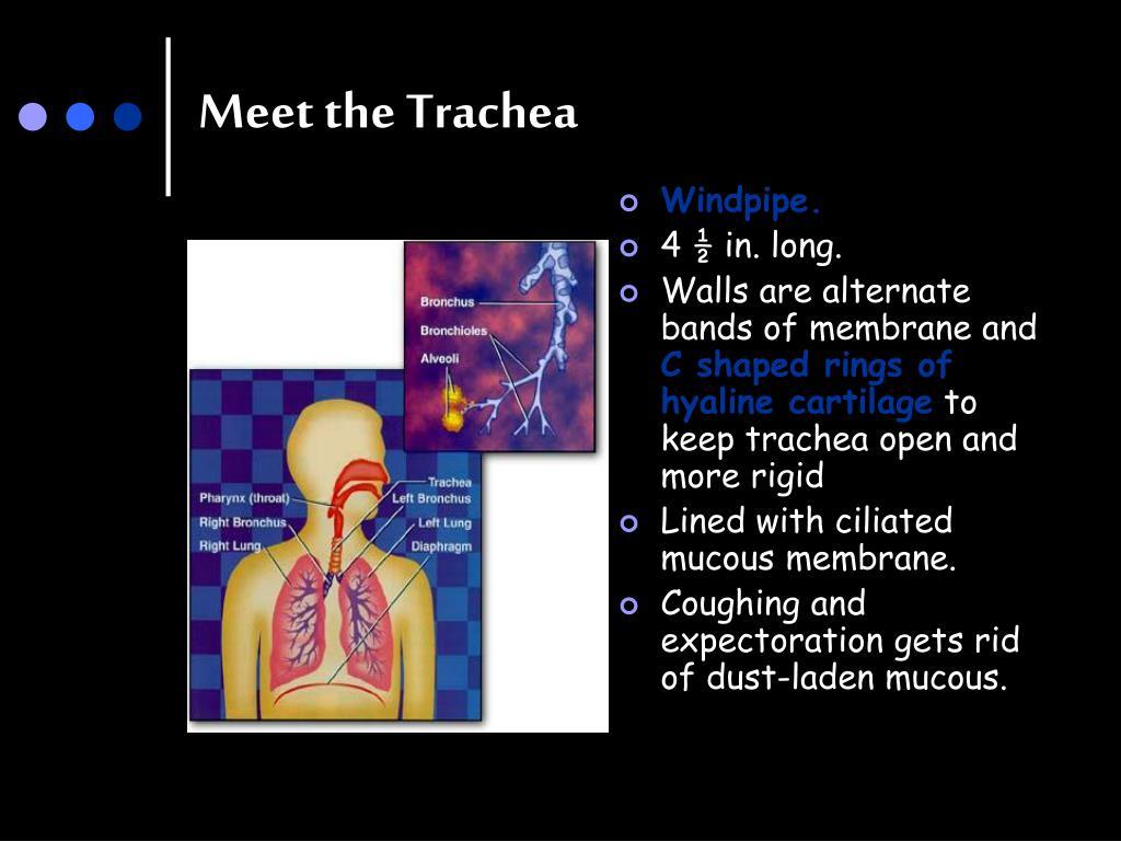 Meet the Trachea