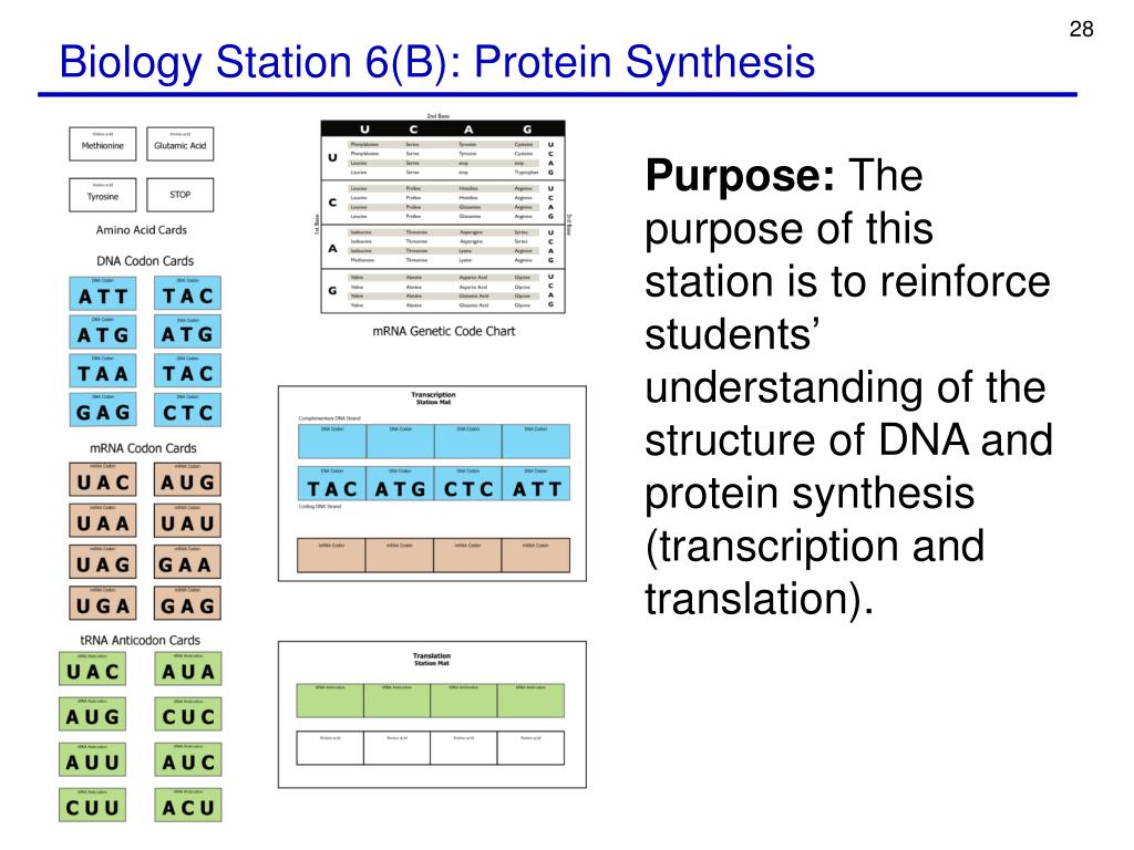 Biology Station 6(B): Protein Synthesis