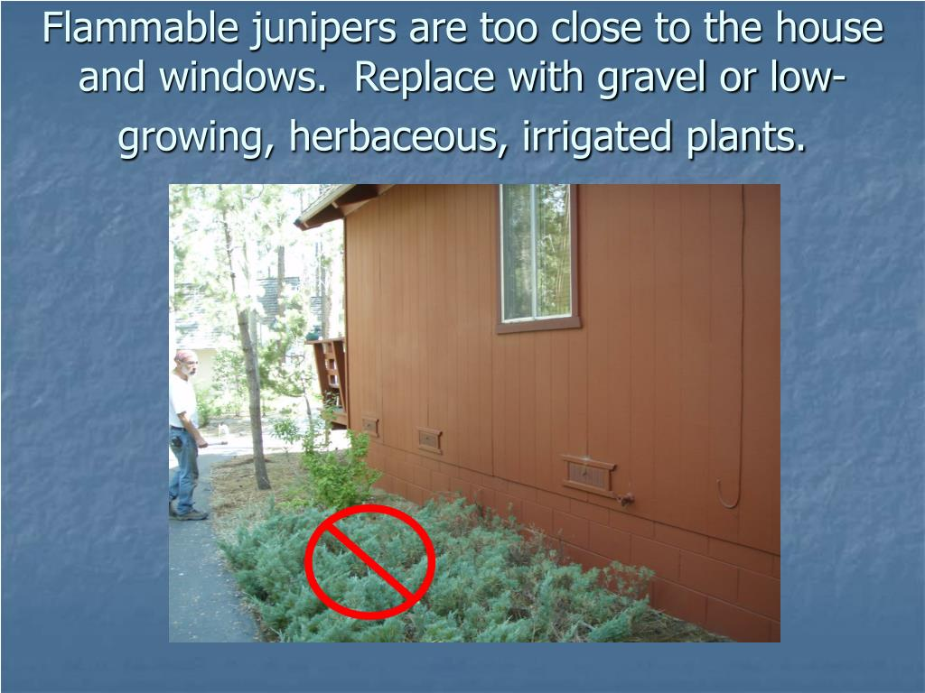 Flammable junipers are too close to the house and windows.  Replace with gravel or low-growing, herbaceous, irrigated plants.