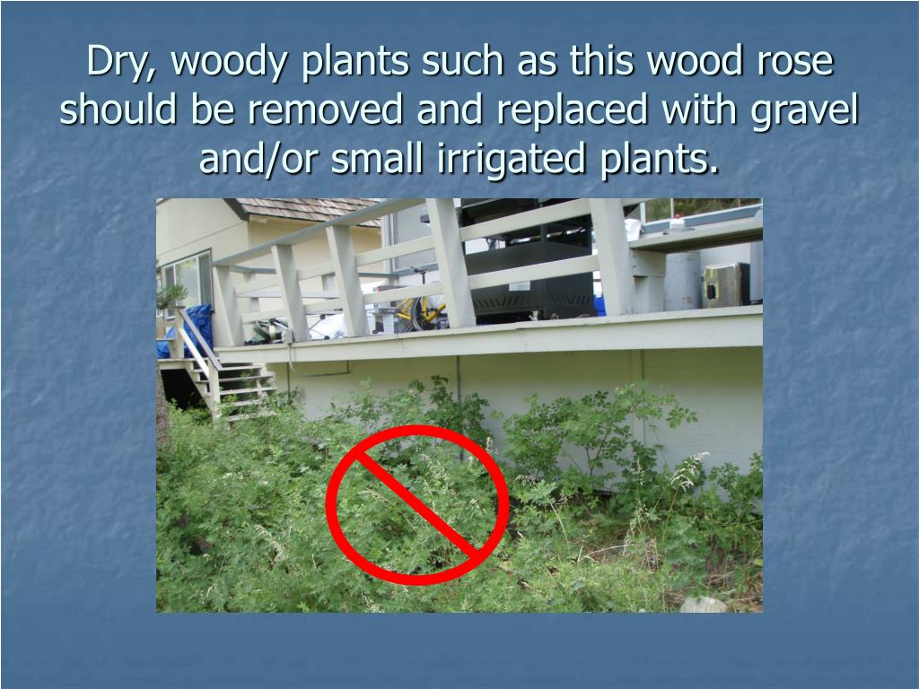 Dry, woody plants such as this wood rose should be removed and replaced with gravel and/or small irrigated plants.