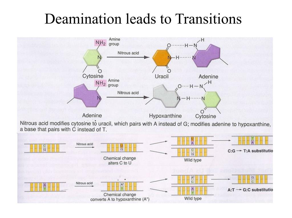 Deamination leads to Transitions