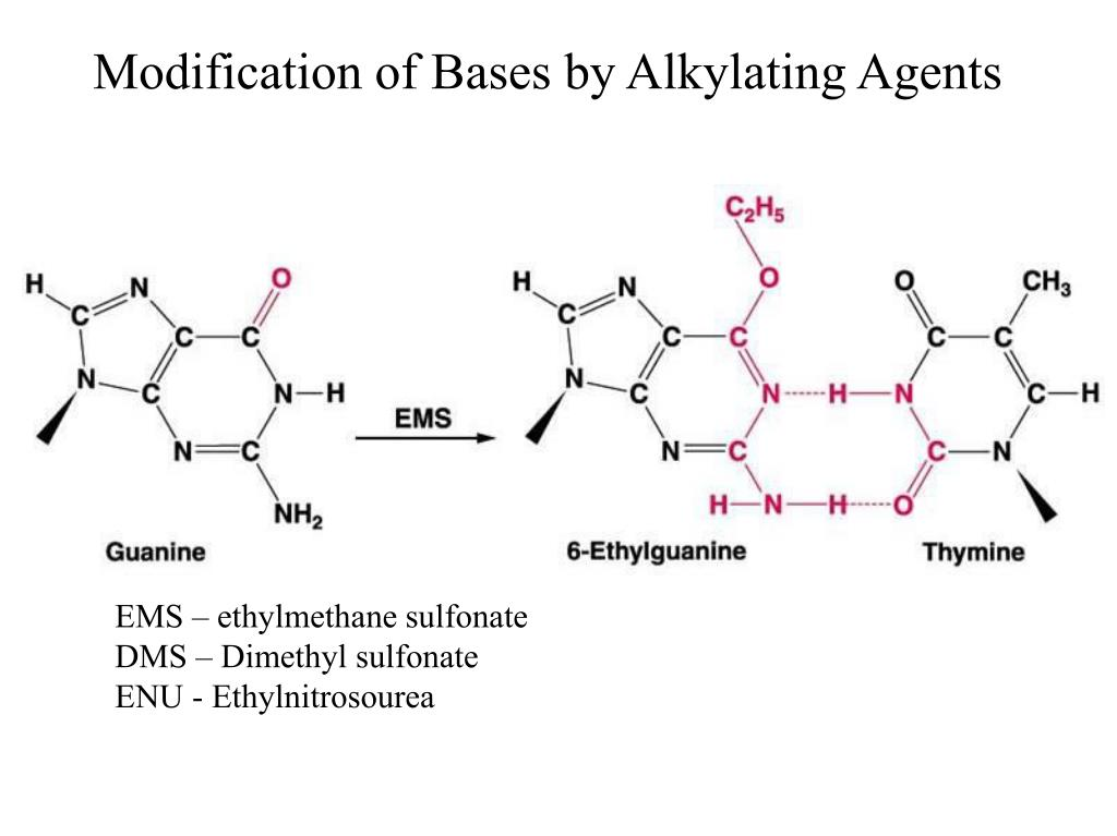 Modification of Bases by Alkylating Agents