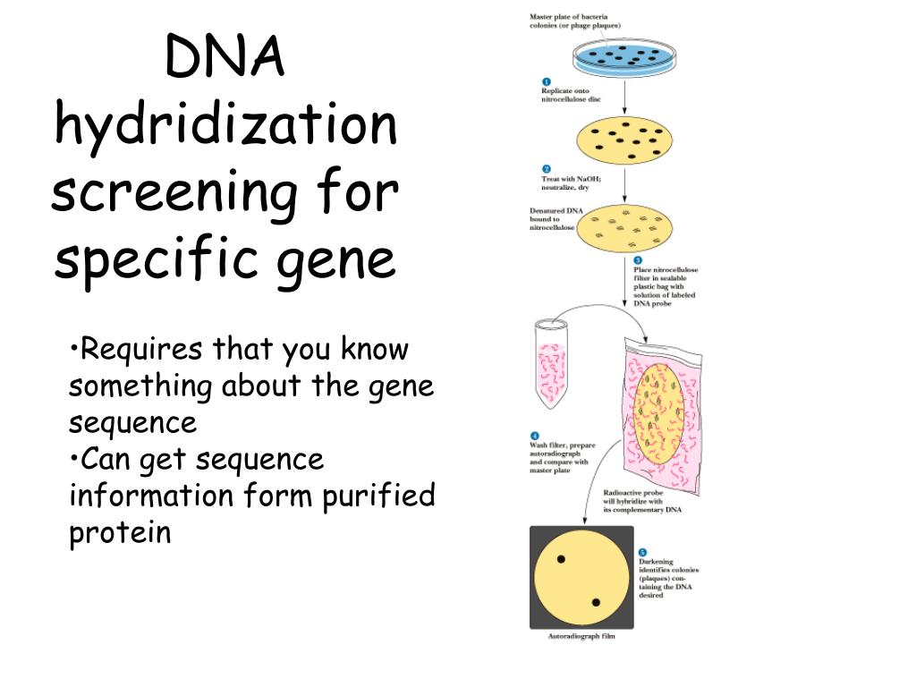 DNA hydridization screening for specific gene