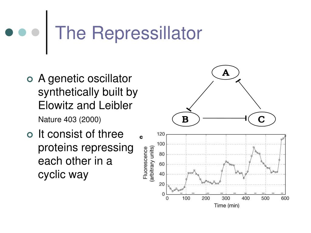 A genetic oscillator synthetically built by Elowitz and Leibler
