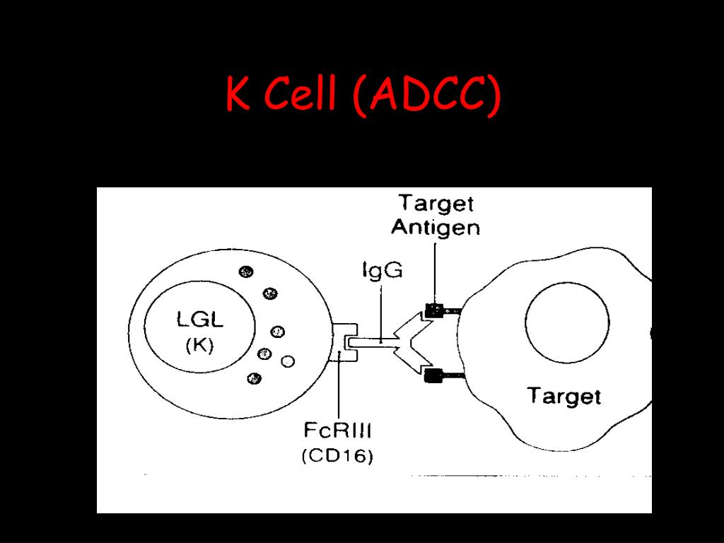 K Cell (ADCC)