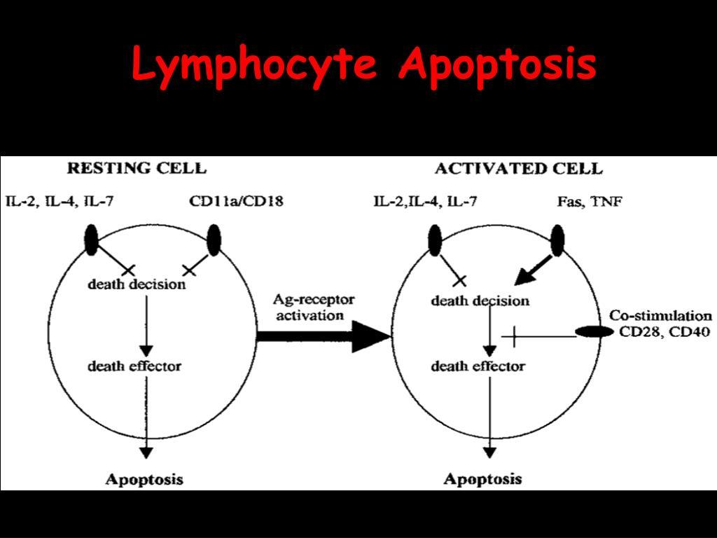 Lymphocyte Apoptosis