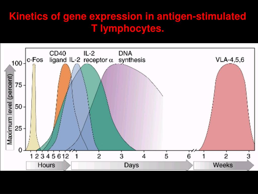 Kinetics of gene expression in antigen-stimulated