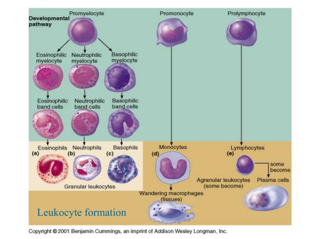 Leukocyte formation
