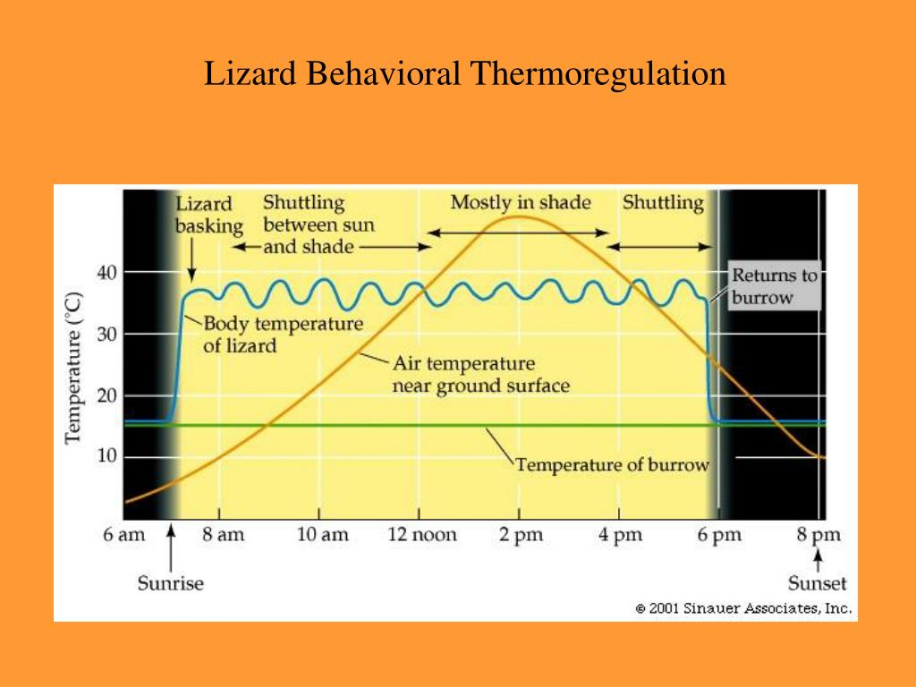 Lizard Behavioral Thermoregulation