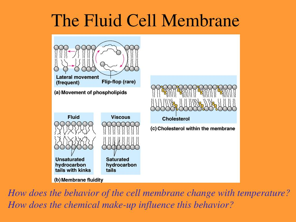 The Fluid Cell Membrane
