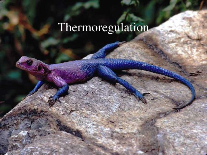 Thermoregulation l.jpg