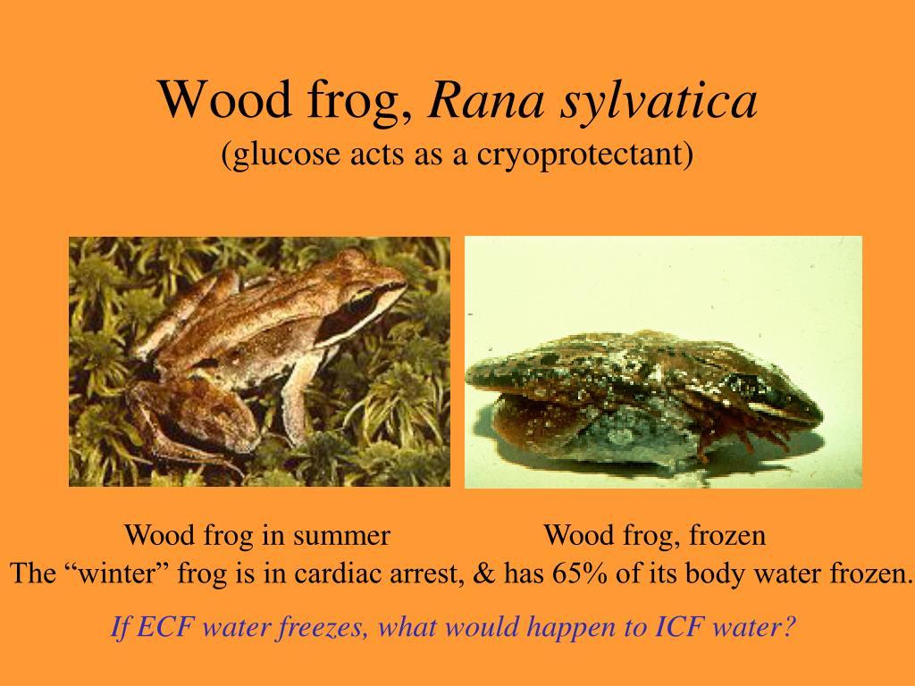 Wood frog,