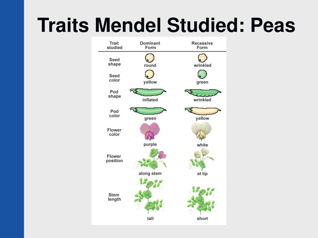 Traits Mendel Studied: Peas