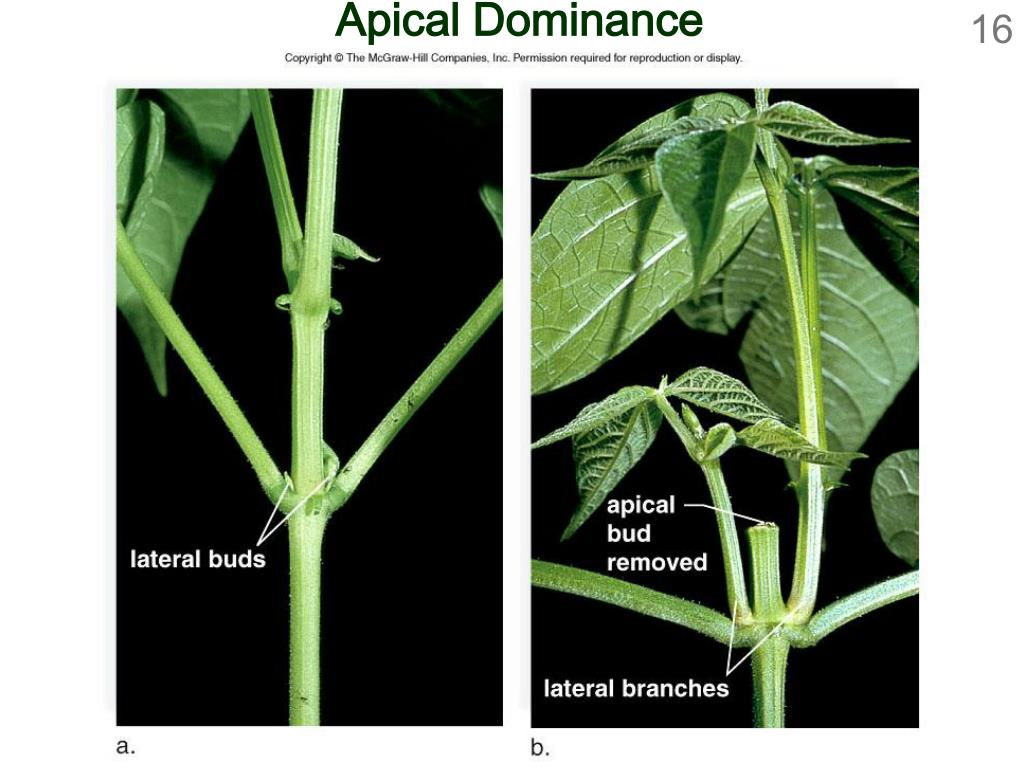 Apical Dominance