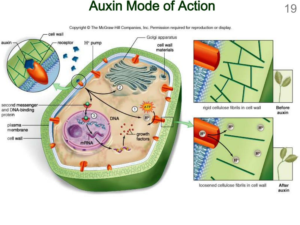 Auxin Mode of Action