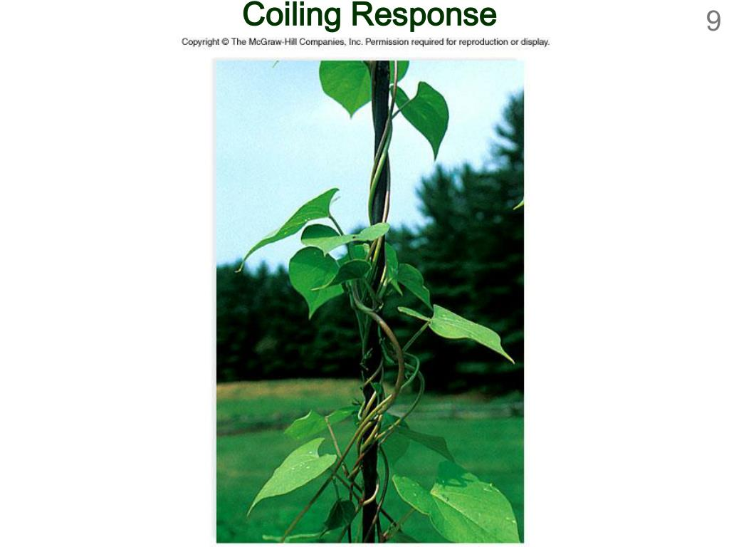 Coiling Response