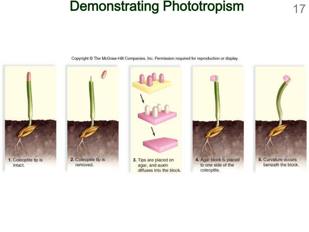 Demonstrating Phototropism