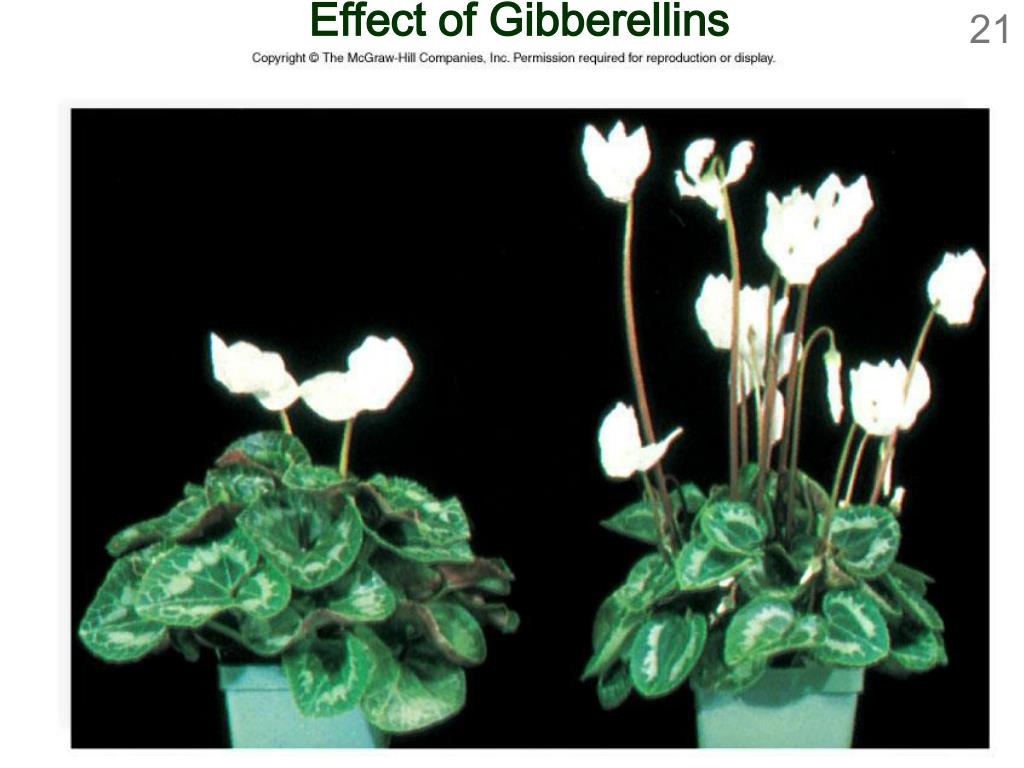 Effect of Gibberellins