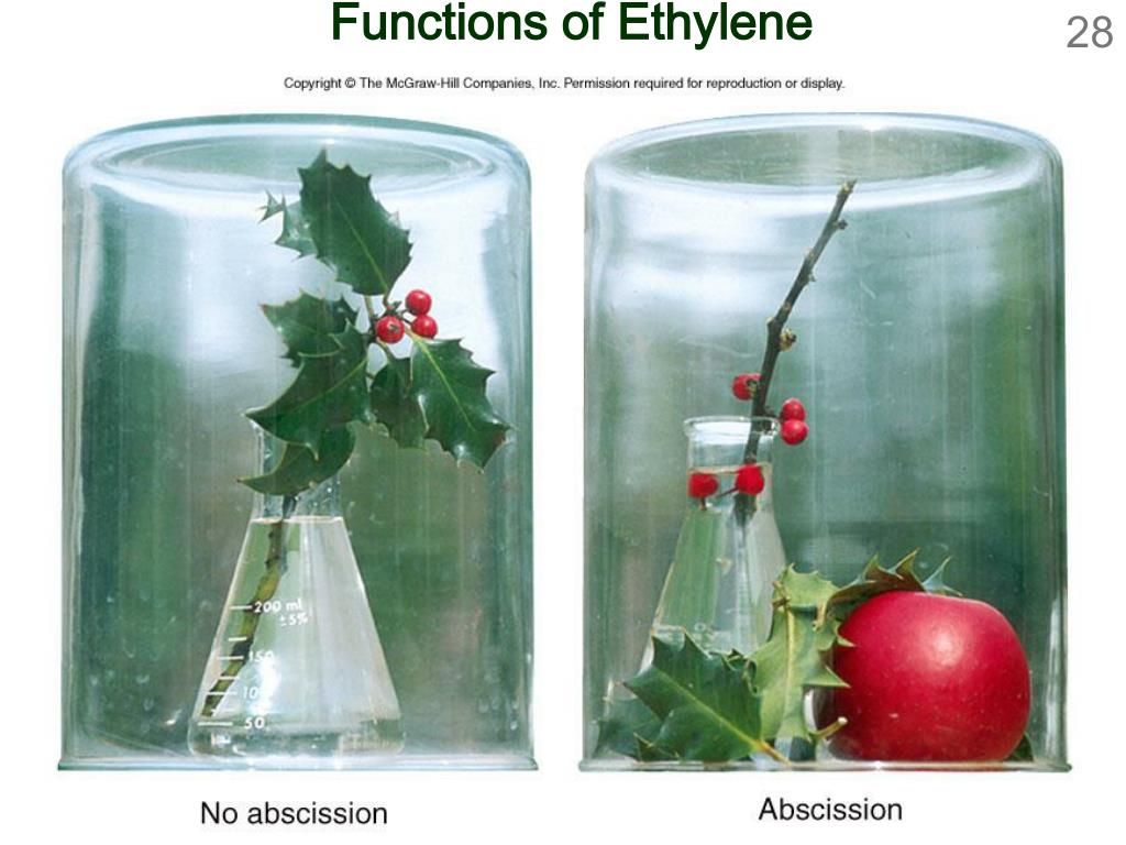 Functions of Ethylene